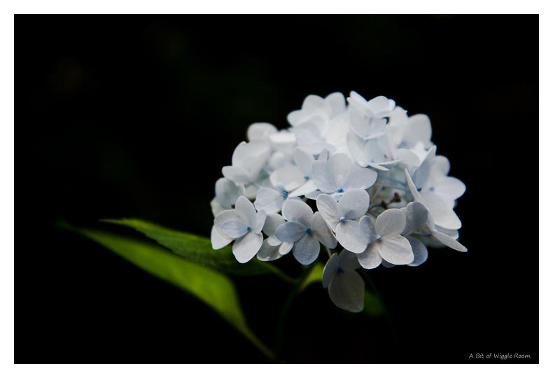 Faint blueish Hydrangea